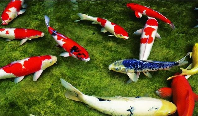 Thức ăn cho cá Koi - hình ảnh đàn cá